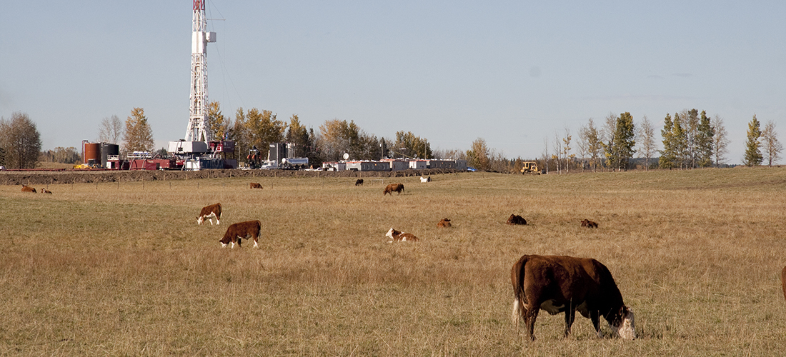 Oil drilling rig and cattle in field